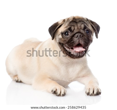 Portrait pug puppy. isolated on white background