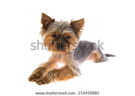 Portrait Puppy Yorkshire Terrier. Isolated on White Background - stock photo