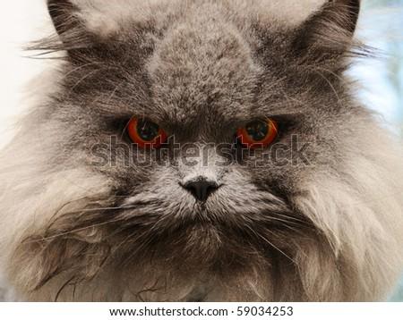 portrait serious british cat with orange eye - stock photo
