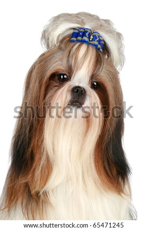 Portrait Shih tzu on a white background - stock photo