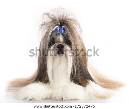 portrait  Shih Tzu, the Chinese breed  - stock photo