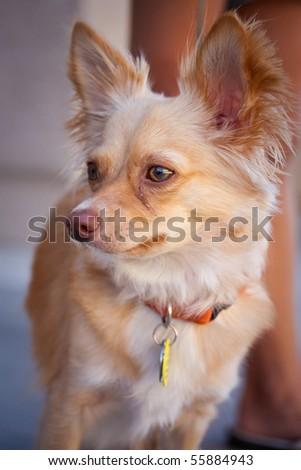 Portrait shot of a very cute pet chihuahua - stock photo