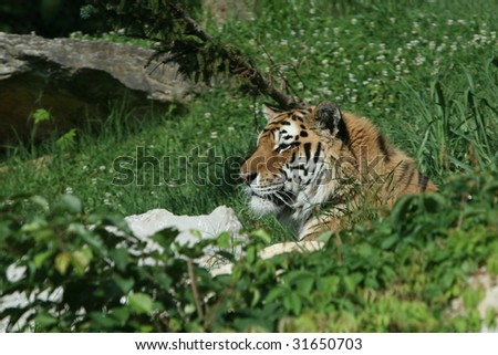 portrait shot of an Amur Tiger resting on a grassy hill - stock photo