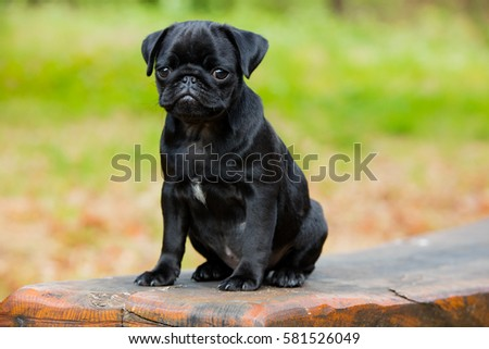 Puggy stock images royalty free images vectors shutterstock portrait shot of my puggy thecheapjerseys Gallery