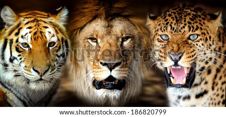 Portrait tiger, lion, leorard on black background - stock photo