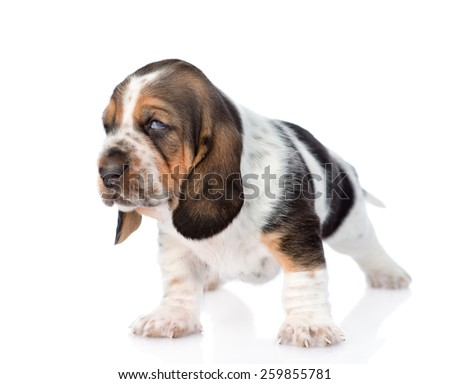 Portrait tiny basset hound puppy. isolated on white background