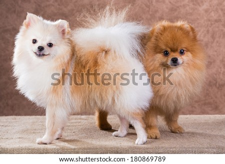 Portrait two Pomeranian dog on a abstract background