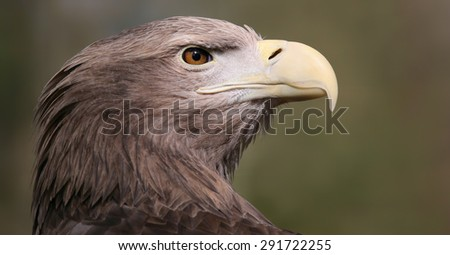 Portrait view of a White-tailed Eagle (Haliaeetus albicilla) - stock photo