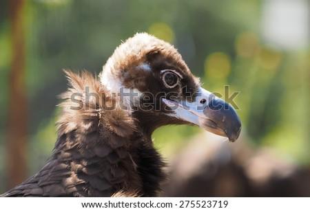 portrait vulture - stock photo