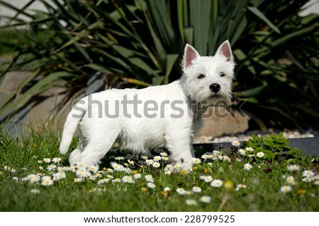 Portrait West Highland terrier puppy in the garden  - stock photo