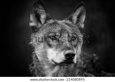 portrait wolf black and white - stock photo