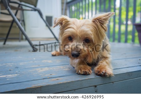 Portrait yorkshire terrier or yorkie outside on blue porch - stock photo