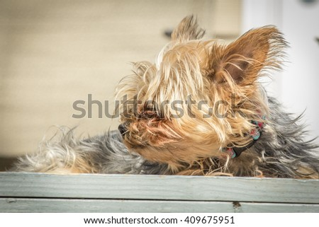 Portrait yorkshire terrier or yorkie squints from the bright sunlight - stock photo