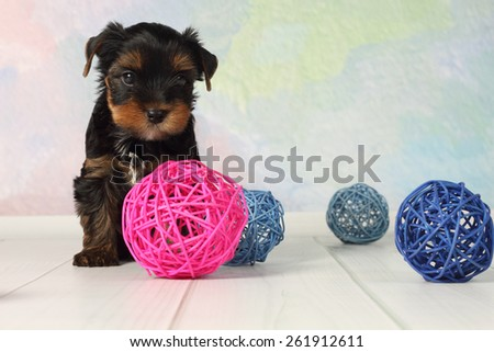 Portrait Yorkshire terrier puppy and wicker balls