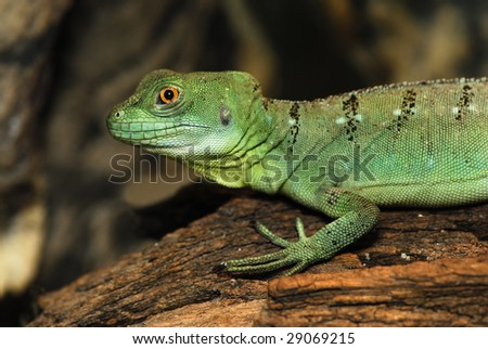 Portrait young basilisk (basiliscus plumifrons) on the fulcrum of a dry tree