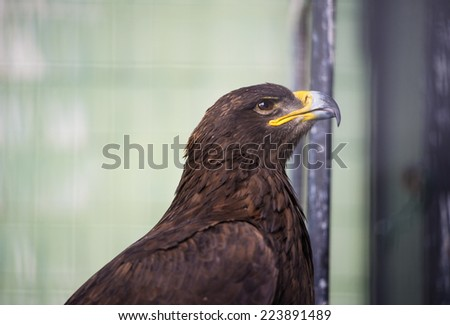 portrait young eagle - stock photo
