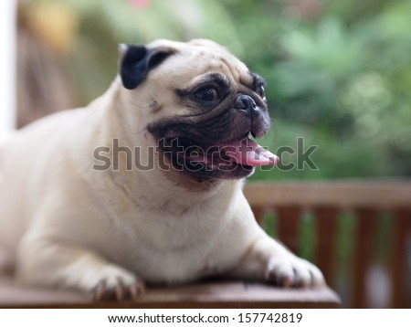 portraits of a white pug smiling showing his pink tongue - stock photo