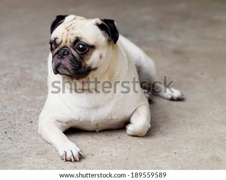 portraits view of a lovely lonely white fat pug dog laying on the floor making funny sadly face. - stock photo