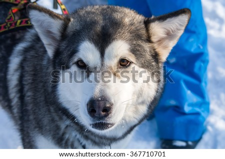 Portret of a Husky in the winter walking.