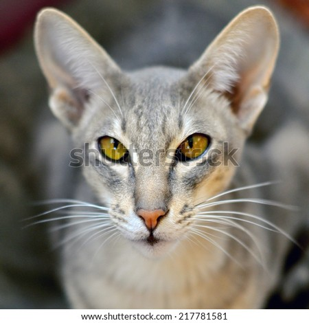 Portret of a oriental cat. The Oriental Shorthair is a breed of cat. This cat combines the Siamese body with a diversity of colorings and patterns.  - stock photo