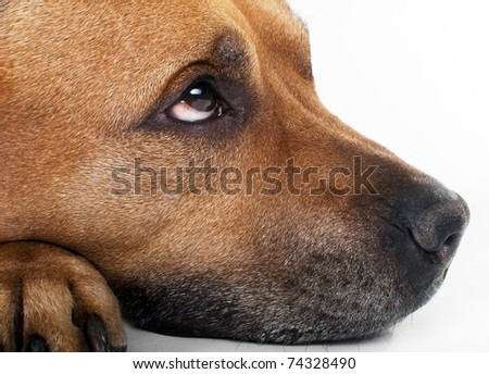Portret of brown American Staffordshire Terrier