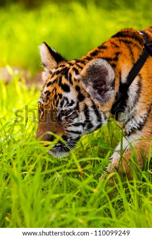 Porttrait of tiger cub  sneaking in grass - stock photo