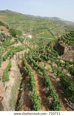 Portuguese port wine vines - stock photo