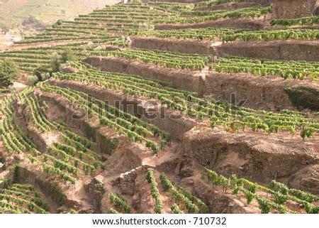 Portuguese port wine vineyards - stock photo