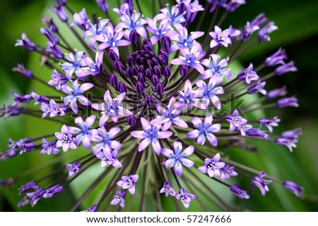 Portuguese Squill (Scilla peruviana) is a species of Scilla native to the western Mediterranean region. This photo was taken at Villa Hanbury Botanic Gardens, Liguria, Italy. - stock photo