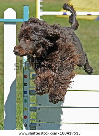 Portuguese Water Spaniel Dog Jumping Fence  - stock photo