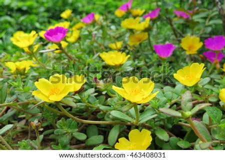 Portulaca grandiflora flowers are beautiful. natural background