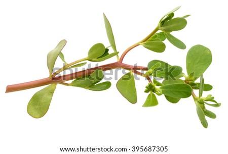 Portulaca oleracea on a white background - stock photo