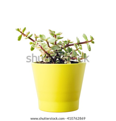 Portulacaria Afra : cactus a kind of succulent in  ceramic pot - stock photo