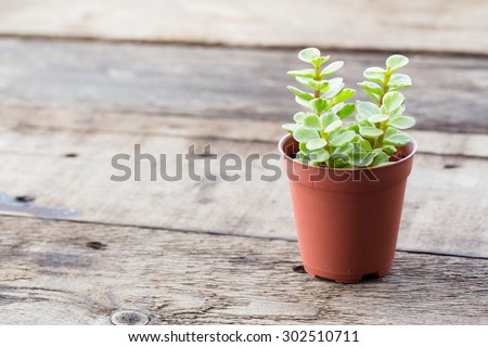 Portulacaria Afra : cactus a kind of succulent in plastic pot on white wooden background. - stock photo