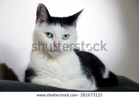Posed portrait of a green eyed black and white cat. - stock photo