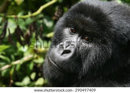 Poser Gorilla - stock photo