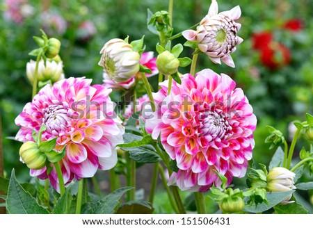 Posh motley dahlia in the garden - stock photo
