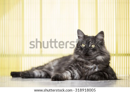 Posing cat with silver, long hair. - stock photo