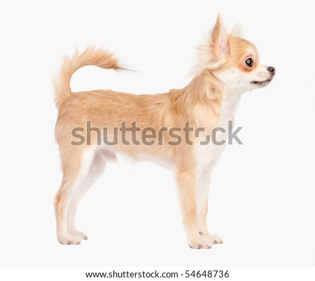 Posing the young chihuahua dog isolated on white - stock photo