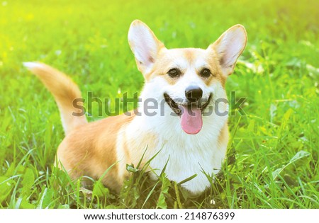 Positive dog Welsh Corgi Pembroke on the grass summer