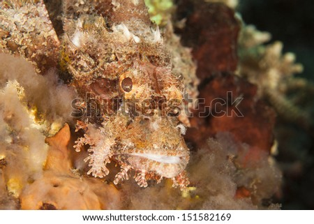 Poss's Scorpionfish (Scorpaenopsis possi), on a tropical coral reef in Bali, Indonesia - stock photo
