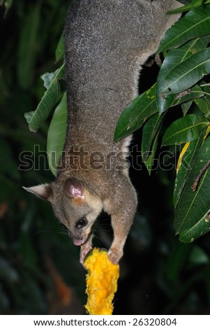 Possum upside-down holding bitten mango - stock photo