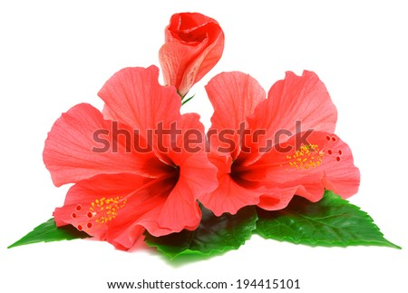 Postcard from hibiscus flowers isolated on white background