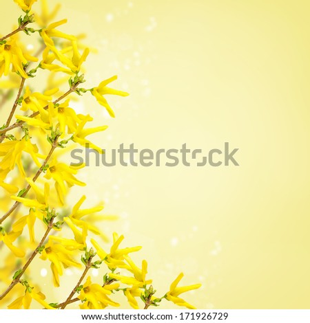 Postcard with fresh flowers forsythia and place for your text. Abstract background for design. - stock photo