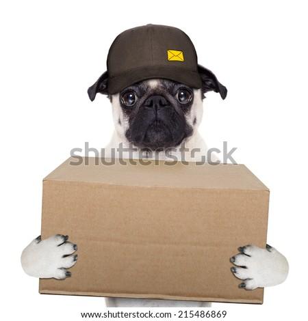 postman pug  dog delivering a big brown package - stock photo