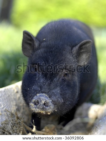 Pot-bellied Pig in Trough - stock photo