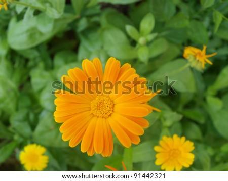 pot marigold - stock photo