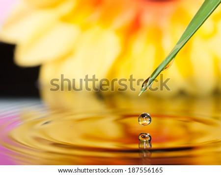 pot marigold flower mirroring inside dew drops - stock photo