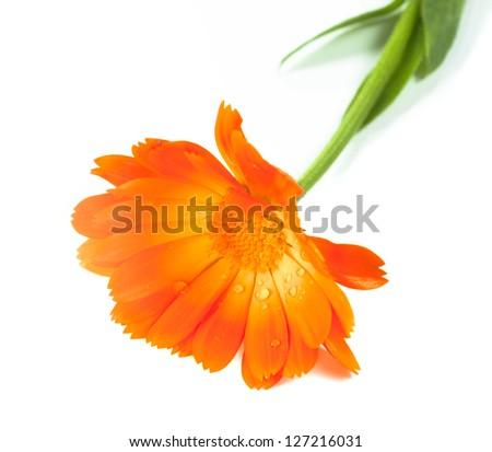 Pot Marigold flower on white background - stock photo