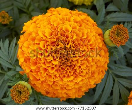 pot marigold flowers closeup - stock photo